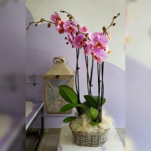Bologna cesto orchidea fucsia