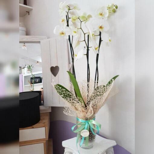 Ostuni orchidea in vaso di vetro trasparente